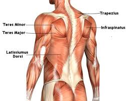 Bringing up a lagging muscle group.